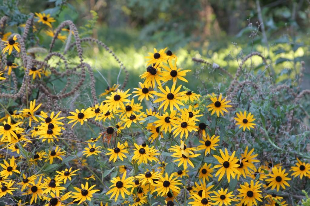 sunflowers at midewin. animalia project