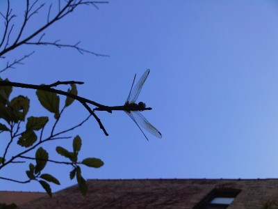 dragonfly. animalia project / susan ask