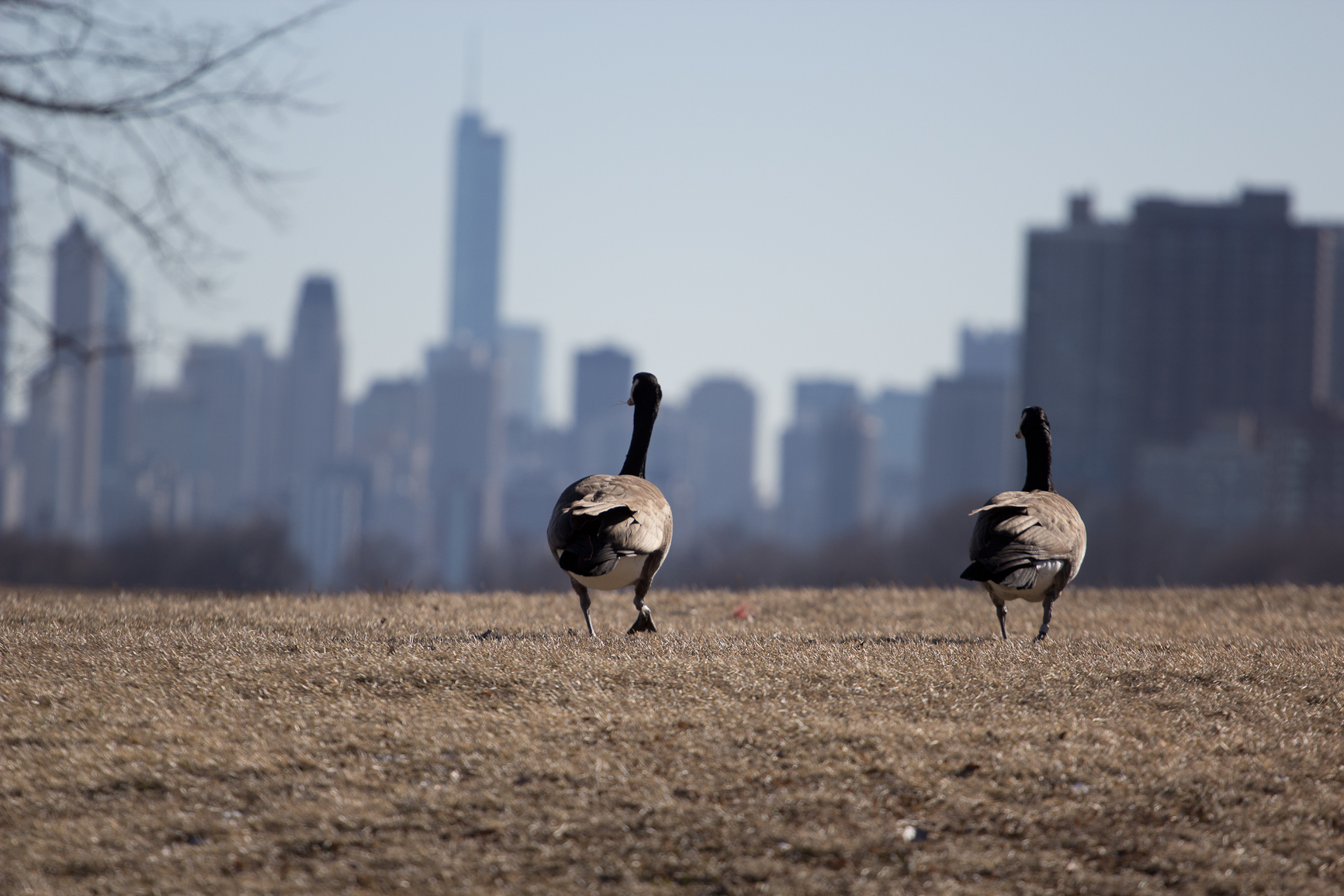 canada geese and chicago skyline. animalia project / susan ask