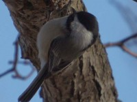 montrose point chickadee animalia project susan ask