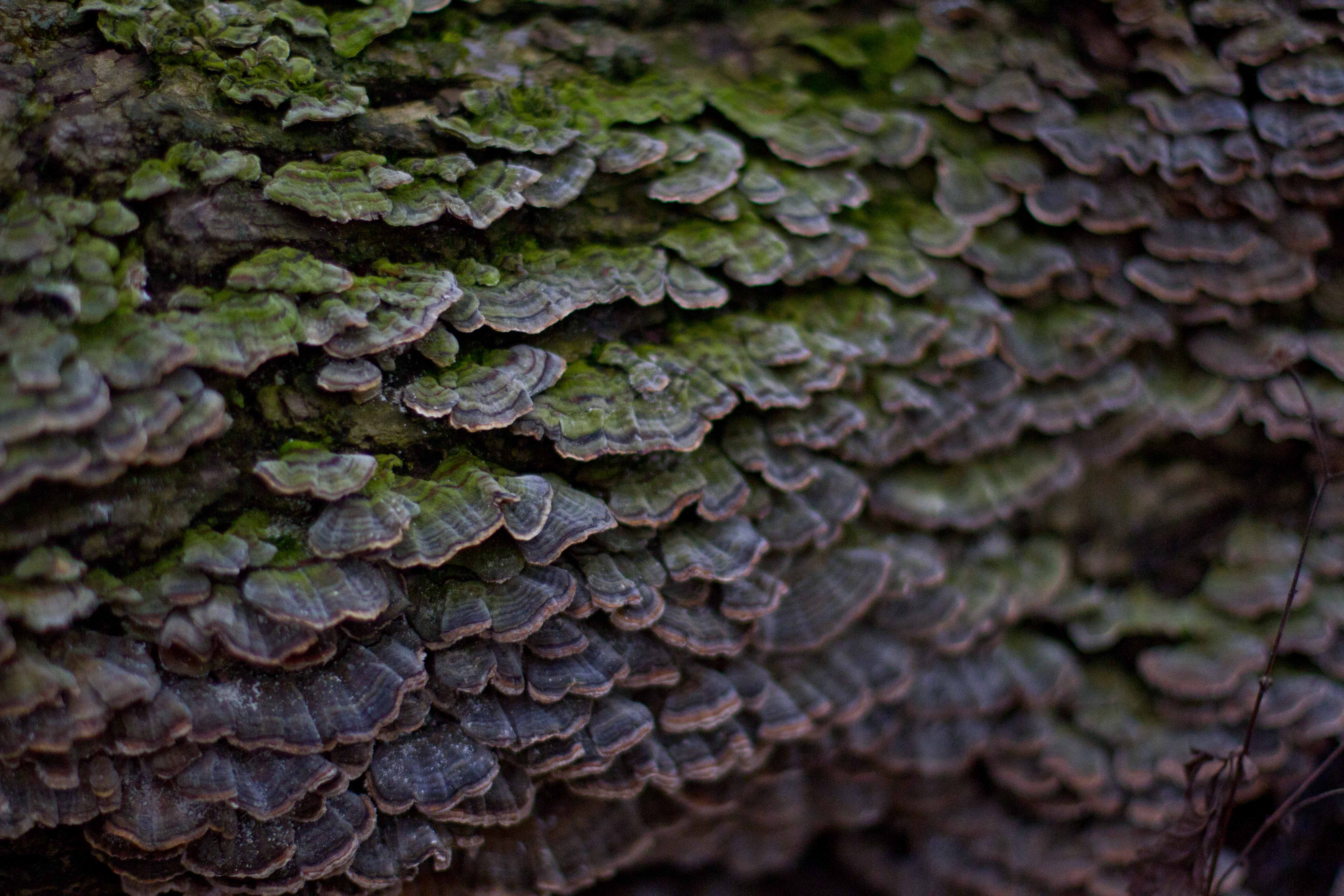 turkey tail fungus Trametes versicolor thatcher woods animalia project susan ask