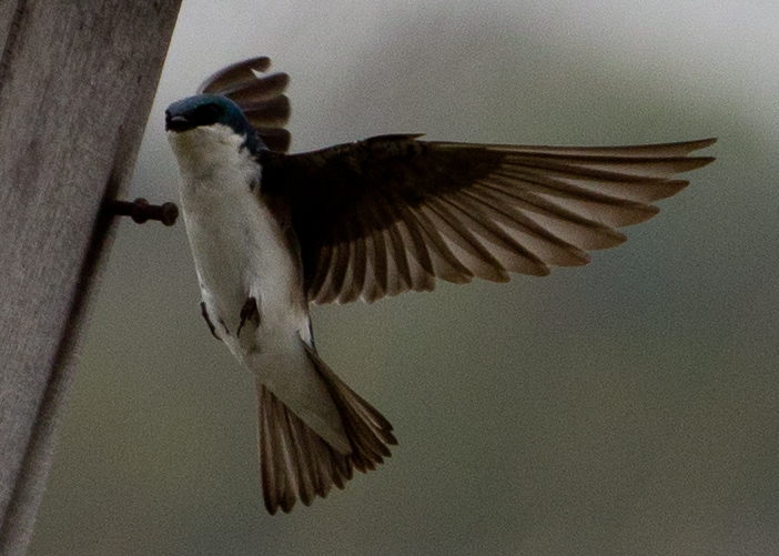 tree swallow animalia project susan ask