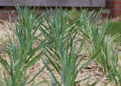 garlic garden mulch susan ask