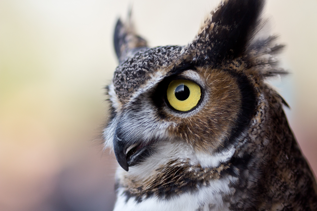 animalia project chicago owl photo joe mazza brave lux climate change