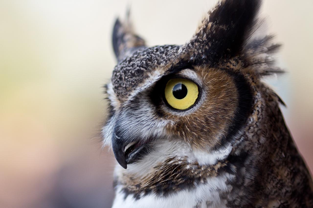 animalia project chicago owl photo joe mazza brave lux climate change